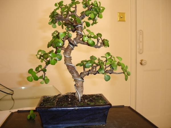 Денежное дерево в интерьере (19 фото): привлекаем благополучие в дом